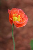 Red garden poppy Stock Images