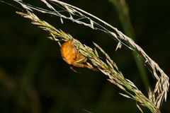 Orange Garden Spider Stock Photos