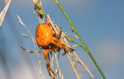 Orange Garden Spider Royalty Free Stock Image