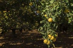 Orange Garten Früchte lizenzfreies stockbild