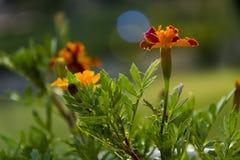 Orange Gartennelke stockfotografie