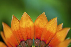 Orange Gazania Stockbild