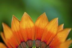 Orange Gazania. Flower close up background, shallow DOF Stock Image