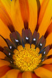 Orange Gazania Royalty Free Stock Images