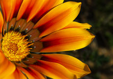 Orange Gazania Royalty Free Stock Image