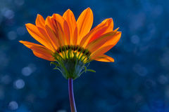 Orange Gazania Stockfoto