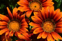 Orange Gazania Stock Photo