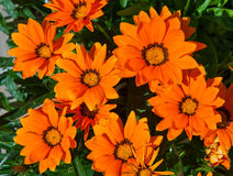 Orange gazania Stock Photos