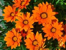 Orange gazania Stock Photos