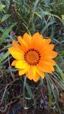Orange Gazania Flower. Beautiful Gazania Flower with orange leafs and yellow orange and brown crown center and green leafs Stock Photos