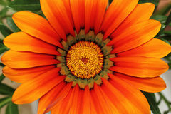 Orange gazania flower Stock Images