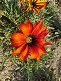 Orange gazania flower in a park Royalty Free Stock Image