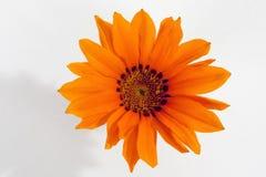 Orange gazania flower on white background Royalty Free Stock Photography