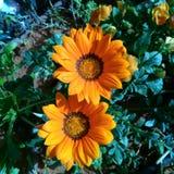 Orange Gazania Flowers. With crown inside Stock Photography
