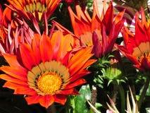 Orange Gazania flowers genus asteraceae Royalty Free Stock Image