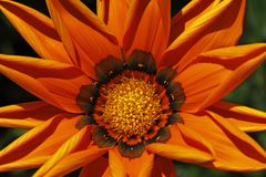 Orange Gazania-Mischling am Sommer stockfotografie