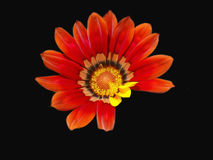 Orange Gazaniamakro Lizenzfreies Stockfoto