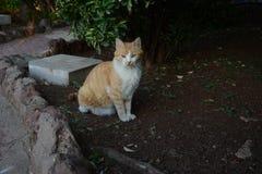 Orange gaze standing upright and noble. Orange bea cat looking away Royalty Free Stock Photo