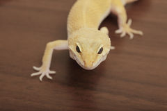 Orange gecko crawling Royalty Free Stock Images