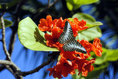 Orange Geiger Tree with Malaysian blue clipper butterfly Royalty Free Stock Photography