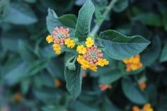 Orange Gelb-Blumen stockbilder