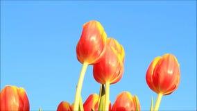 Orange Gelb der Tulpen stock video footage