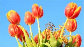 Orange Gelb der Tulpen mit Mimose stock footage