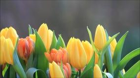Orange Gelb des Tulpenblumenstraußes stock video footage