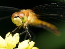 Orange, gelbe und grüne Libelle auf gelber Blume stockbild