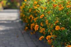 Orange, gelbe und rote Ringelblumenblumen am Garten am heißen Sommerherbsttag stockfotos