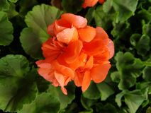 Orange geranium flower royalty free stock image