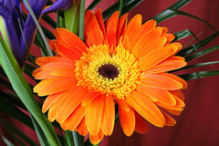 Orange gerber Stock Photography