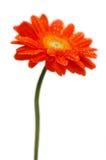 Orange gerber Stock Photo