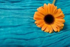 Orange Gerber Royalty Free Stock Photo