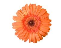Orange Gerber stock images