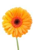 Orange gerber auf Weiß Lizenzfreie Stockfotos