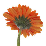 Orange Gerber Blossom Stock Photography