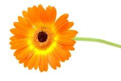 Orange gerber in closeup Royalty Free Stock Images