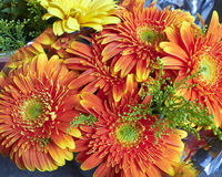 Orange gerber daisies Royalty Free Stock Photos