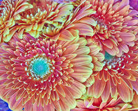 Orange gerber daisies bouquet closeup Royalty Free Stock Images
