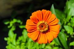 ORANGE GERBER DAISIES FLOWER. Bright orange gerber daisiesflower in the garden stock image