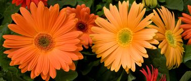 Orange Gerber Daisies. Pretty orange and yellow gerber daisies for summer royalty free stock images