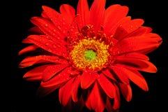 Orange gerber daisy 1. Vibrant , wet , orange Gerber daisy Royalty Free Stock Image