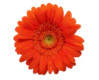 Orange gerber daisy Stock Photography