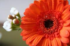 Orange Gerber Daisy. Details of a beautiful, orange Gerber Daisy blossom. Genus: Gerbera stock photos
