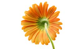 Orange gerber daisy Royalty Free Stock Photo