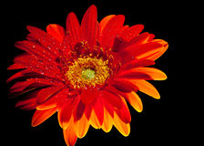 Orange gerber daisy 2. Vibrant orange wet Gerber daisy Royalty Free Stock Photo