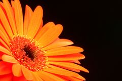 Orange Gerber Daisy Stock Image