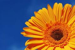 Orange gerber daisy. And blue sky royalty free stock images