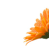 Orange gerber daisy. With water droplets in bloom against white background stock images